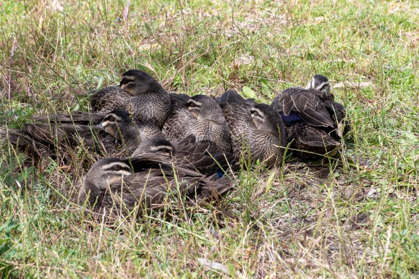 Duck cluster