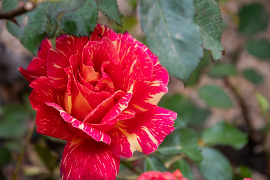 Rupanyup Roses